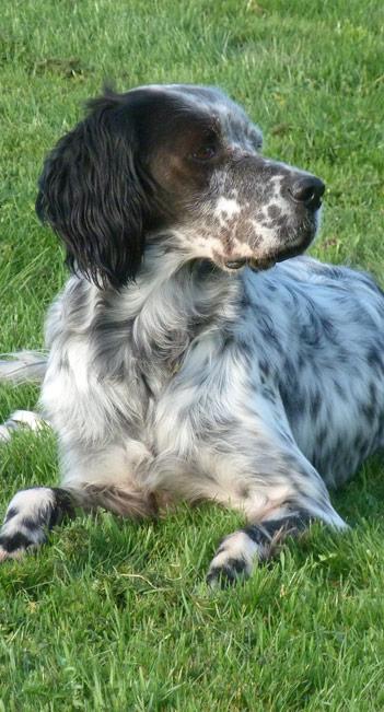 archeSetterAnglais élevage chien Chateau-Gontier